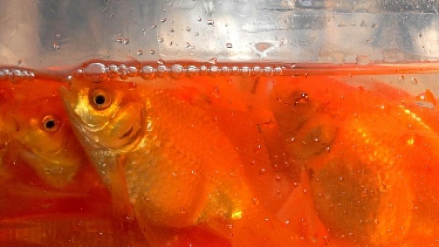 """Китаец си купи златна """"рибка"""" за $38 хил."""