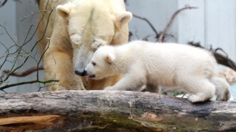 Бяло мече с майка си в германски зоопарк