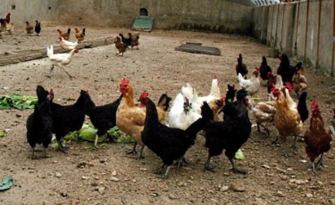 Всички кокошки в България са официално щастливи от 1 юни