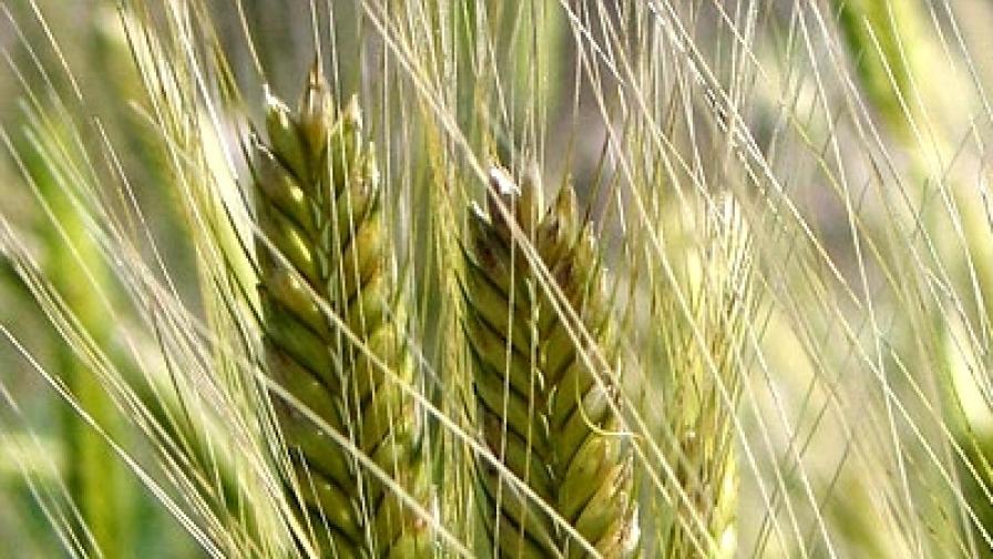 Чудното древно жито лимец