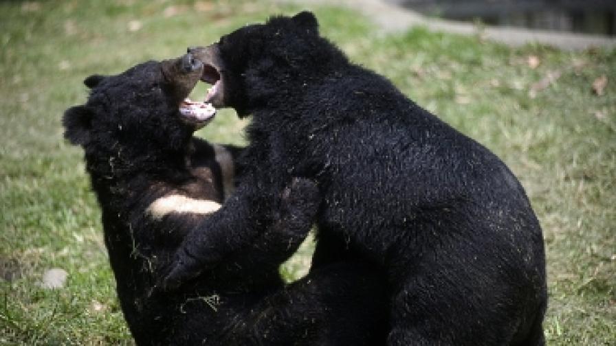И черните мечки могат да броят