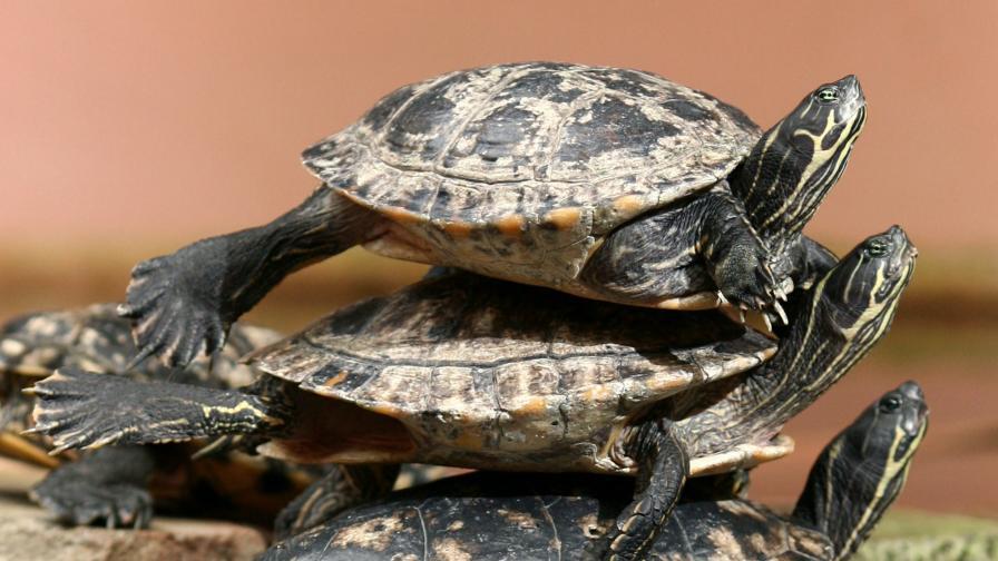 Откриха костенурки в секс поза на 47 млн. години