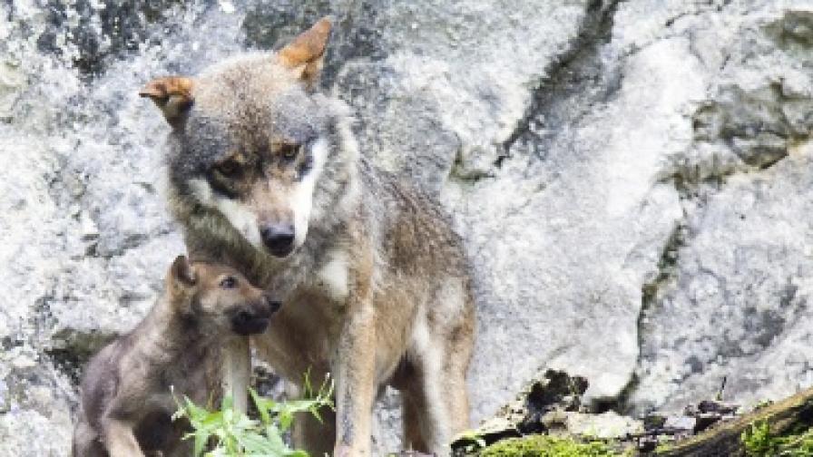 Глутница вълци тероризира рудоземско село