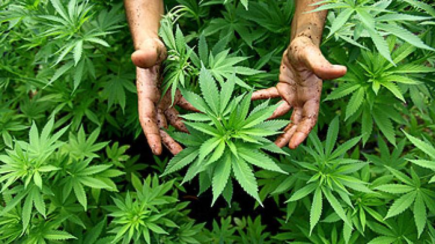 Германска баба влиза в затвора заради 1 тон марихуана