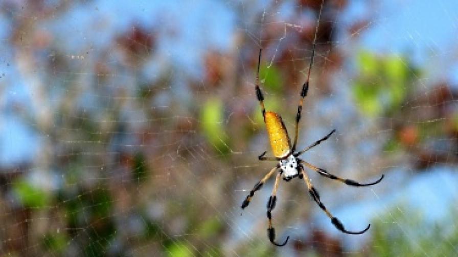 Отрова на паяк лекува еректилна дисфункция