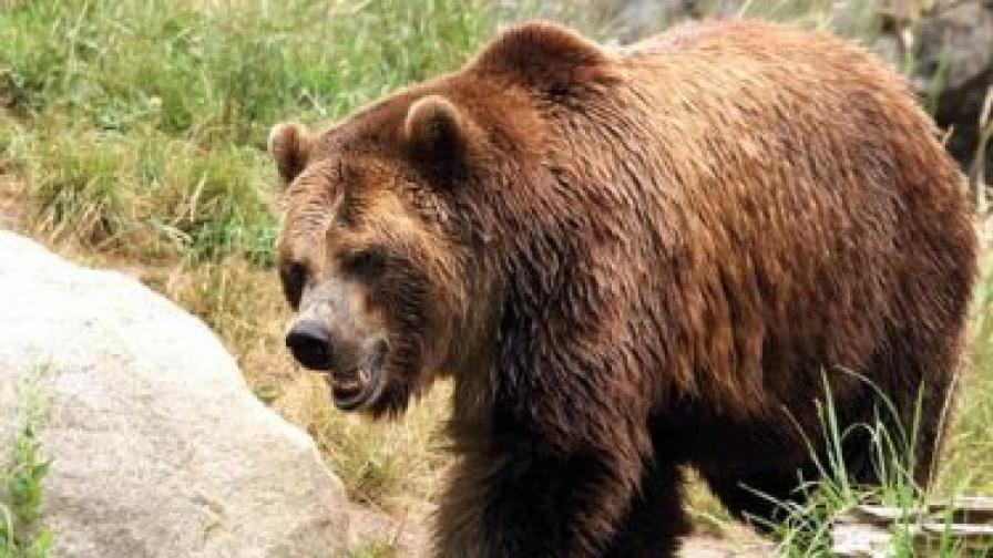 Парламентът губи срещу кафявата мечка