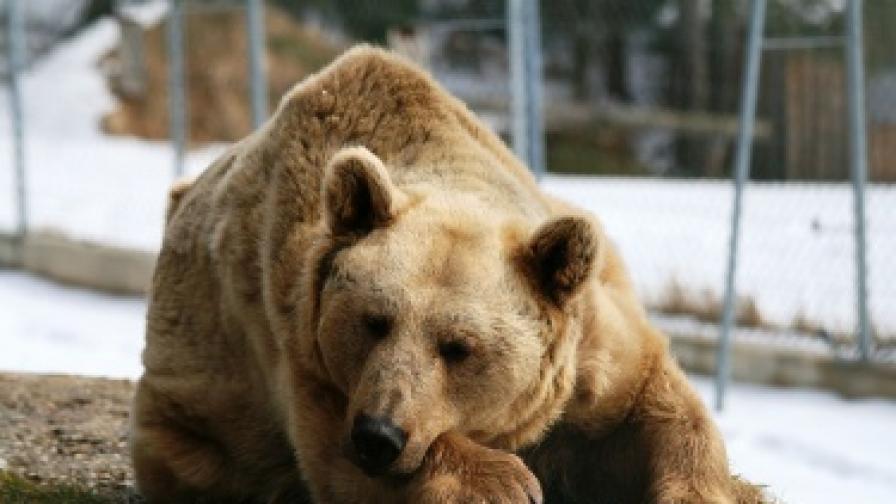 Парламентът забранява лова на кафява мечка у нас