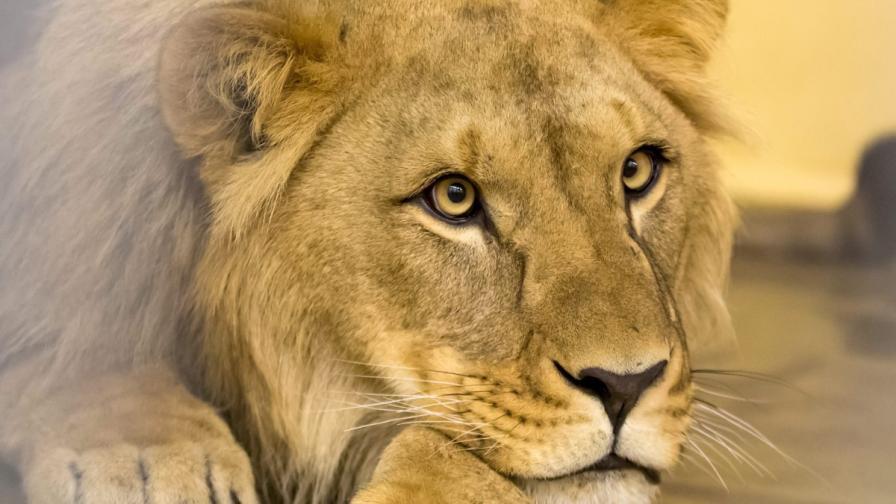 Румънски гангстер плашил жертвите си с четири лъва и две мечки