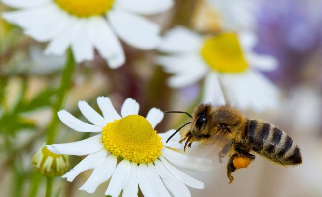 ЕК забранява вредни за пчелите пестициди