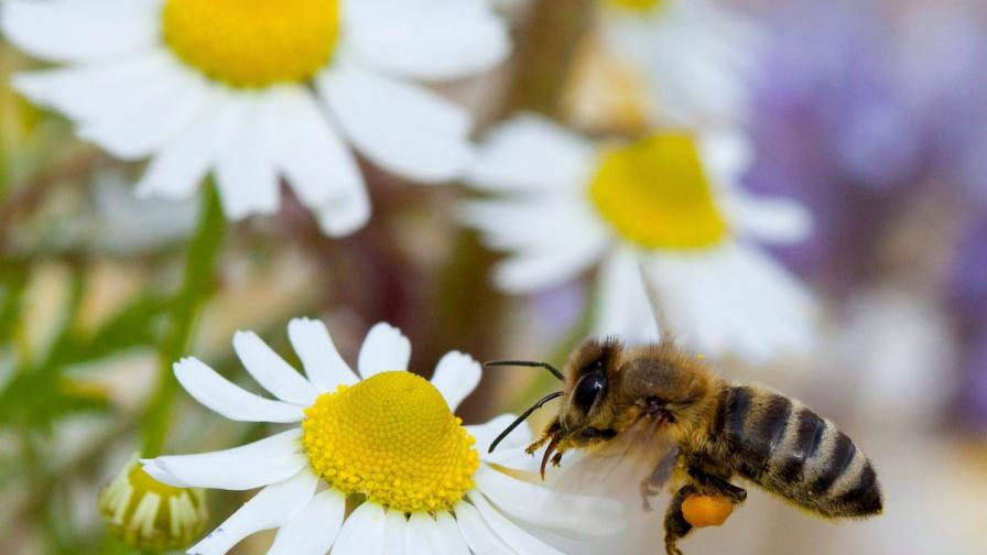 """Обучени пчели """"надушват"""" минни полета"""