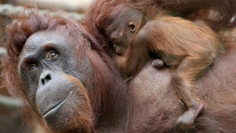 Поставиха на диета дебел орангутан