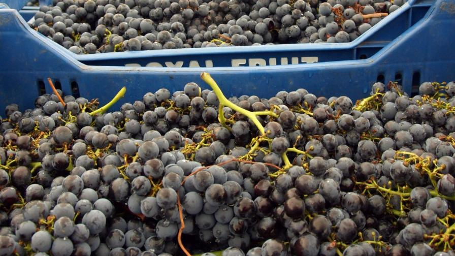 В Русия не приеха българско грозде с пестициди и нитрати