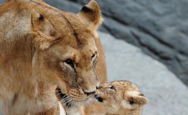 Лъвица с малкото й