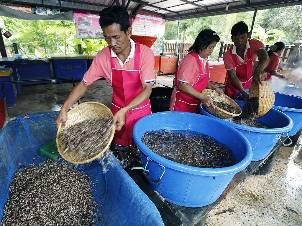 Насекомите присъстват в менюто на тайландците от векове насам. През последните 15 години Тайланд е един от лидерите в селското стопанство с насекоми, като страната изнася средно около 750 тона насекоми годишно - главно щурци, палмови хоботници и бамбукови гъсеници.