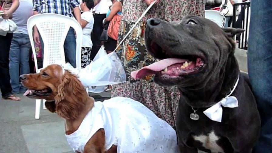 А пък в Шри Ланка разследват... сватба на кучета