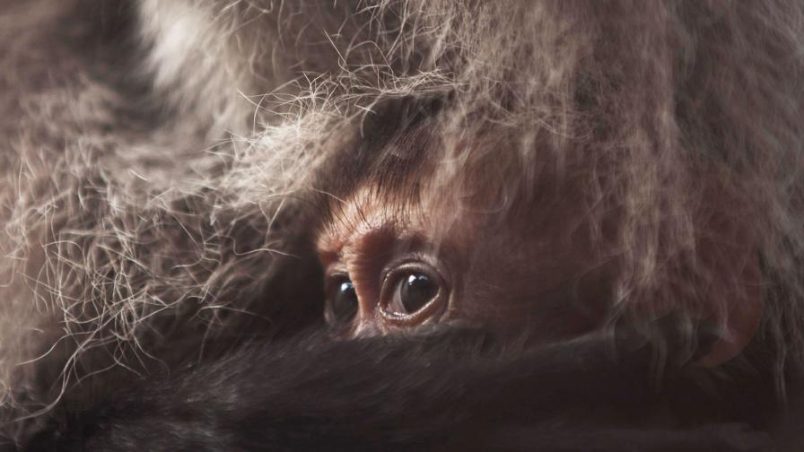 280 ловци преследваха зла маймуна