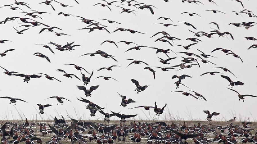 До 100 процента от световната популация на най-застрашения вид гъски - червеногушата гъска - прекарва зимните месеци в няколко района край Калиакра