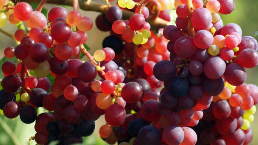 Най-старото българско вино у нас сега е от 1893 г.