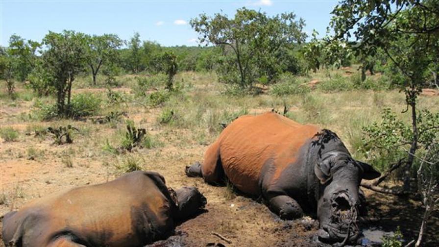 Бракониери убили 100 носорози за месец в Южна Африка