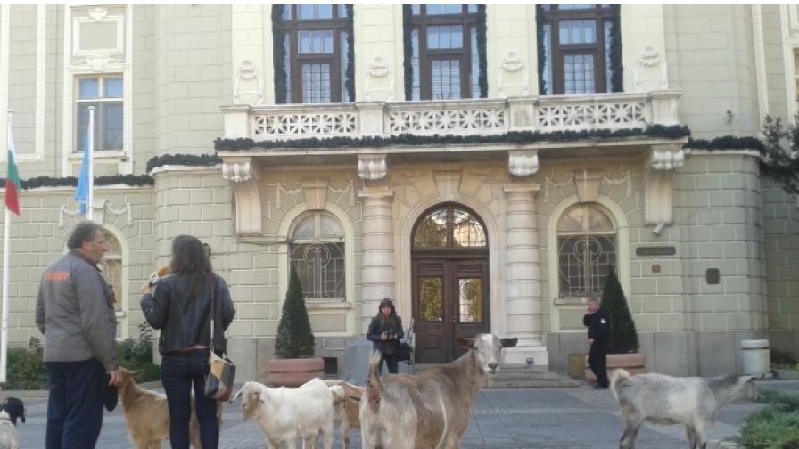 Протест с 6 кози пред общината в Пловдив