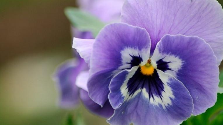 цвете градина теменуга